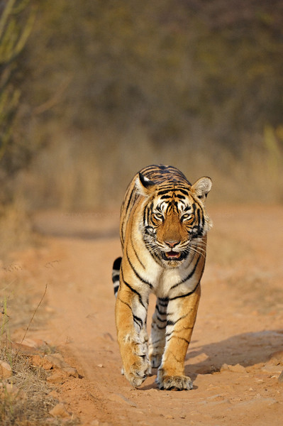 Tiger moving on the forest tracks of Ranthambore tiger reserve