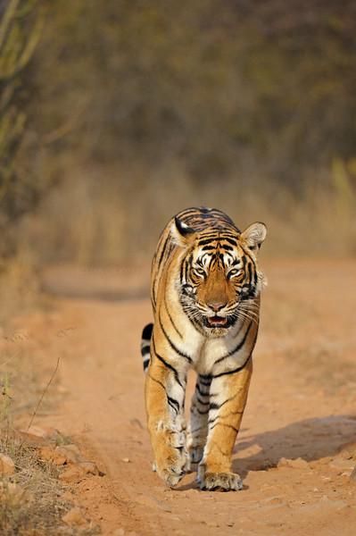 wild tiger in ranthambhore