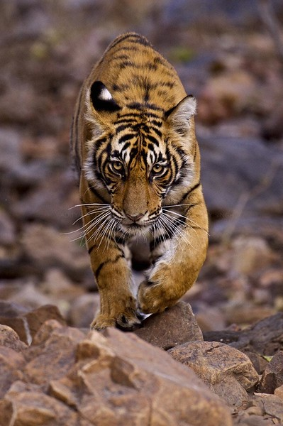 Young male Bengal tiger walking in the forest track in Ranthambhore national park