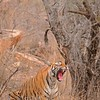 Tiger roaring in Ranthambhore national park,