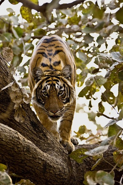 Tiger on top of a tree