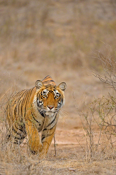 Tiger stalking in the dry forests of Ranthambore tiger reserve