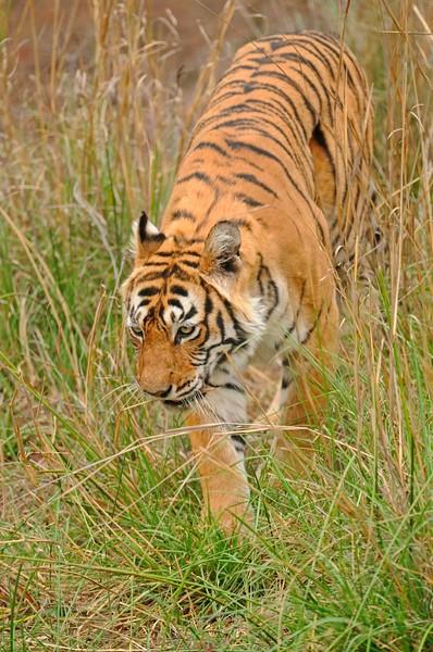 Tiger in grass in Ranthambhore