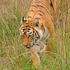 Tiger in grass in Ranthambhore