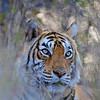 Portrait of a Tiger in its habitat in Ranthambhore national park, India