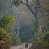 Tiger walking on a forest road in Ranthambhore in a misty morning