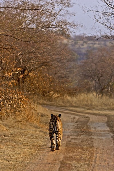 Tiger moving away on the forest tracks of Ranthambore tiger reserve