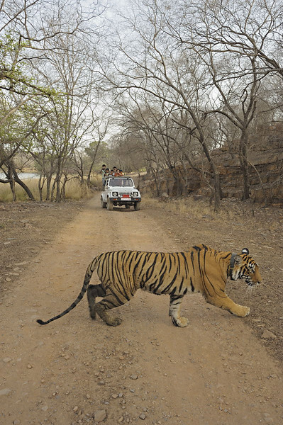 Radio collared tigress on a forest track with a tourist car in the background in Ranthambhore national park, Rajasthan, India.