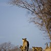 Wild tigress with three young cubs in Ranthambore national park with blue skies in the background