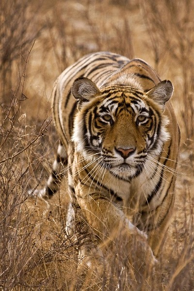 Alert tiger stalking head on in the dry grasses of the  dry deciduous forest of Ranthambore tiger reserve