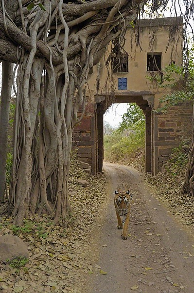 ranthambore fort and tiger