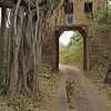 Wild tiger walking through an ancient gate in  Ranthambhore national park in north India