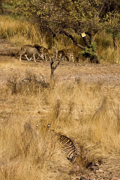 Alert tiger stalking deer in the dry grasses of the  dry deciduous forest of Ranthambore tiger reserve
