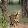 Bengal tiger displaying flehmen behavior in the jungles of Ranthambore tiger reserve in India