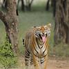 Bengal tiger displaying flehmen behavior in the jungles of Ranthambore tiger reserve in India