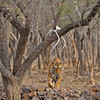 Approaching tiger in  Ranthambore tiger reserve