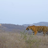 Wild Indian tiger in the dry deciduous jungles of Aravali hill ranges in India