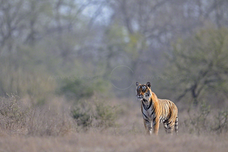 Tiger in the dry forests of Ranthambore tiger reserve during summers