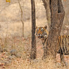 Tiger in its habitat in Ranthambhore national park, India