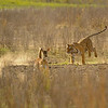 Charging tigress and a running deer in Ranthambhore national park, India