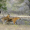 Tiger family - mother and one cub - playing in Ranthambhore national park