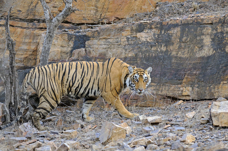Radio collared tigress in front of a rock face Ranthambhore national park, Rajasthan, India.