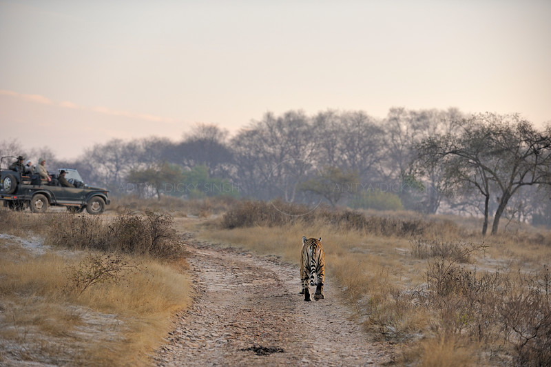 Tourists watching a tiger on a safari  on a cold winter morning in the dry deciduous habitat of Ranthambhore tiger reserve in India