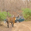 Tourists vehicles watching a tiger cross the tracks in Ranthambhore national park in north India