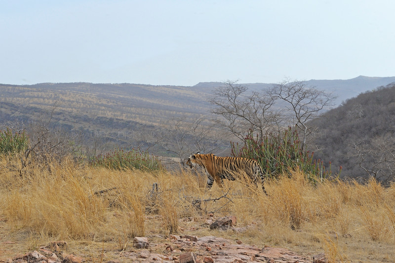 Wild tiger walking in the dry deciduous forests of Ranthambhore national park