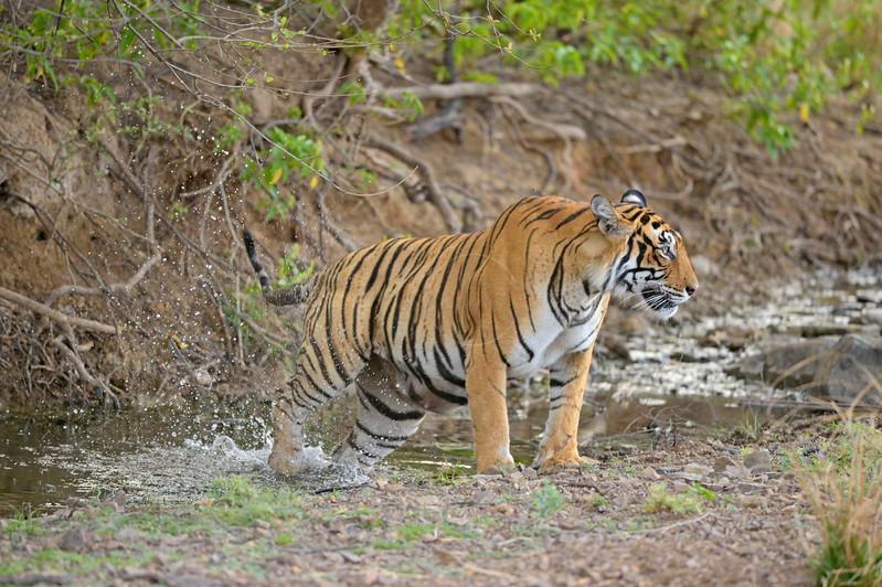 Tiger in a waterhole in Ranthambore