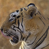 Head shot of a Tiger in Ranthambore tiger reserve