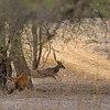 Charging tigress and a running deer in Ranthambhore national park, India