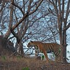 Tiger in the dry deciduous habitat of Ranthanbhore tiger reserve with blue skies in the background
