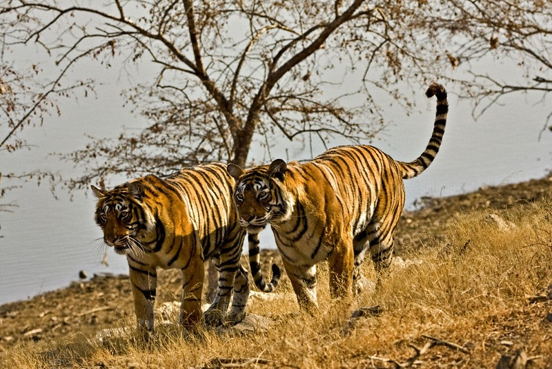 Two tigers moving on the dry grasses of the  dry deciduous forest of Ranthambore tiger reserve