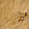 Face of a wild tiger looking through dry grasses in Ranthambore tiger reserve, India