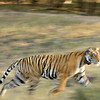 Charging tiger in the dry deciduous habitat of Ranthanbhore tiger reserve