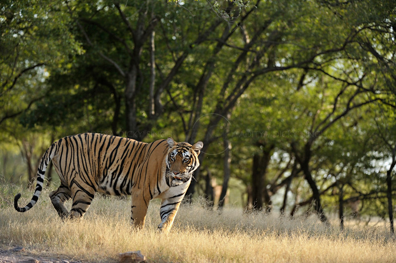 Radio collared Tiger standing in a dry deciduous forest patch of Ranthambore