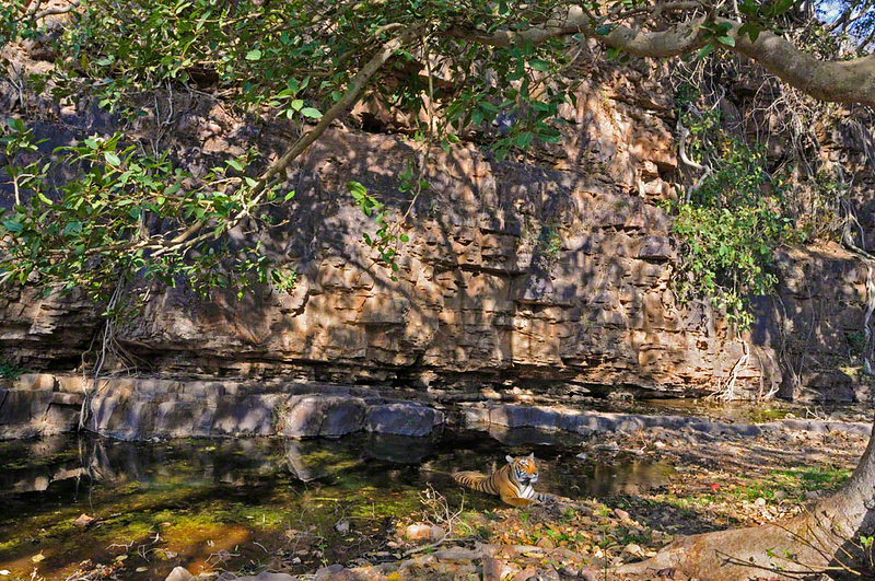 Tiger in a rocky waterhole in Ranthambhore national park, India