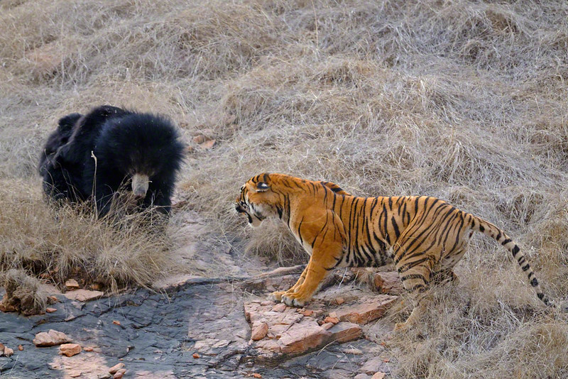 Sloth Bear family (Melursus ursinus), mother with two babies fighting off a tiger in the dry forests of  Ranthambhore national park