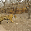 Radio collared tigress in front of a rock face in Ranthambhore national park, Rajasthan, India.