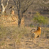 Charging tiger in Ranthambhore national park, India