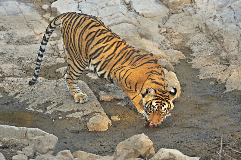 Tiger near a rocky water hole in Ranthambhore national park