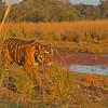 Tiger patrol