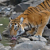 Tiger drinking from a waterhole in Ranthambhore national park, India