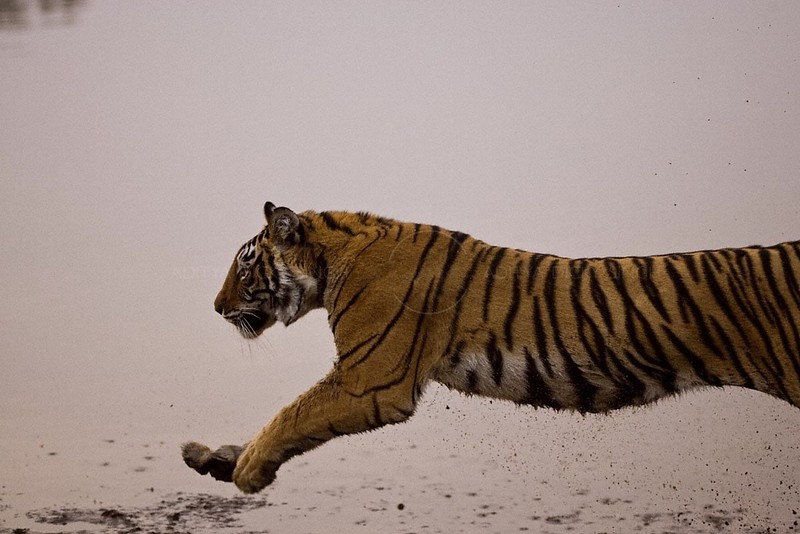 Tiger  charging by the side of a lake in Ranthambore tiger reserve