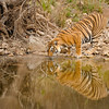 Tiger drinking from a water hole in Ranthambhore national park, India