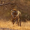 Tiger aggressively walking head on towards the camera in golden light.<br /> <br /> [This one made it to the final round in BBC Veolia Wildlife Photographer of the Year 2009.]
