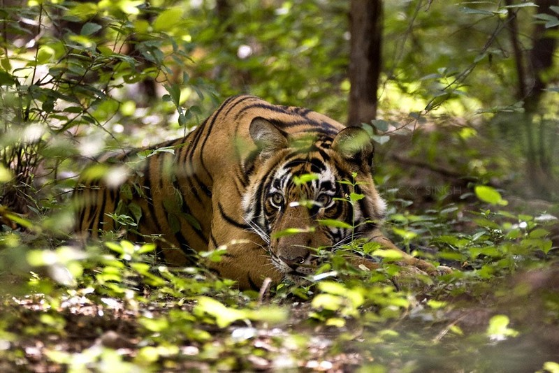 Head shot of tiger that is looking out through bushes in Ranthambhore national park