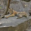 Resting tiger in Ranthambore