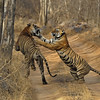 A mating pair of two tigers on a jungle track in Ranthambore national park, India